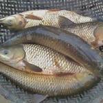 Sức khỏe đời sống - Suýt chết vì tự chữa đau khớp, đau lưng bằng mật cá