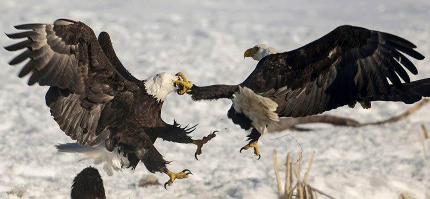 Ảnh đẹp: Đại bàng không chiến giành thức ăn - 5