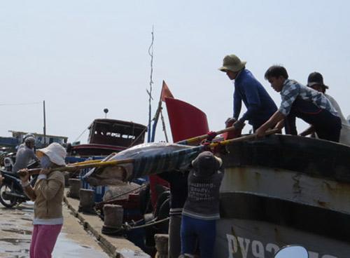 Cá ngừ Việt Nam: Sản lượng cao, đẳng cấp thấp - 1