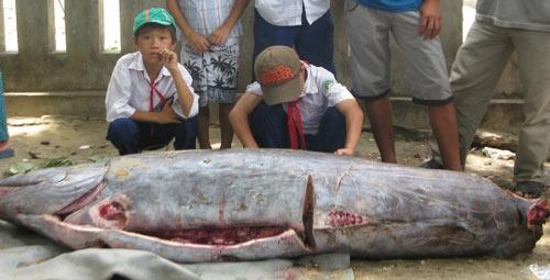 """Phú Yên: Bắt được cá """"lạ"""" nặng hơn 2 tạ - 1"""