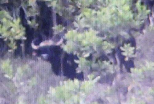 Quảng Nam: Phát hiện bò tót nặng cả tấn - 1