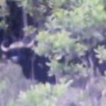 Tin tức trong ngày - Quảng Nam: Phát hiện bò tót nặng cả tấn