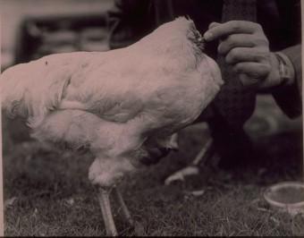 Chú gà bị chặt đầu vẫn sống được năm rưỡi - 2