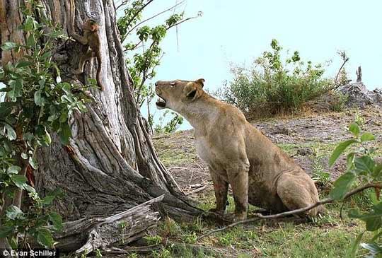 Khỉ mẹ chết, khỉ con quấn quýt sư tử - 3