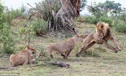 Khỉ mẹ chết, khỉ con quấn quýt sư tử - 8