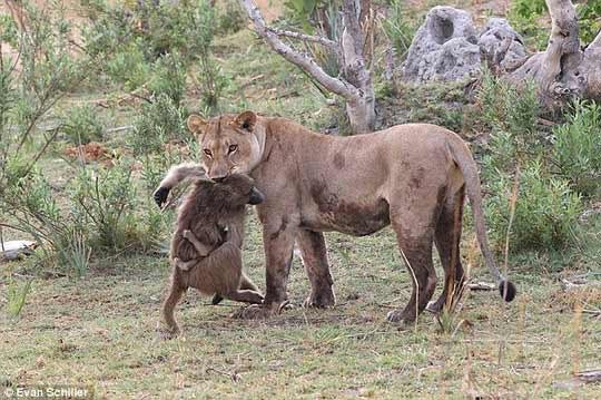 Khỉ mẹ chết, khỉ con quấn quýt sư tử - 2
