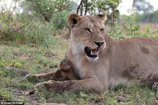 Khỉ mẹ chết, khỉ con quấn quýt sư tử - 7