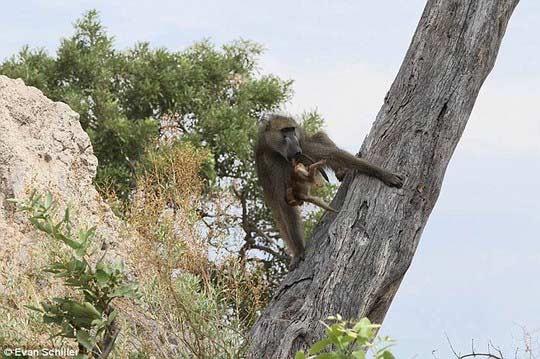 Khỉ mẹ chết, khỉ con quấn quýt sư tử - 9