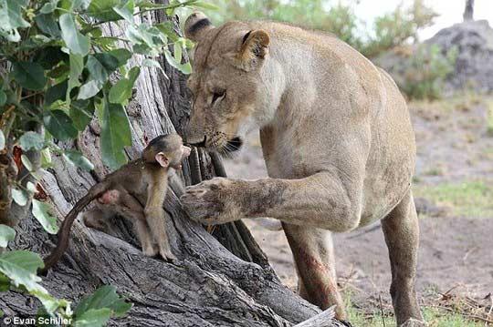 Khỉ mẹ chết, khỉ con quấn quýt sư tử - 5