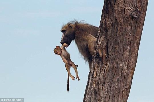 Khỉ mẹ chết, khỉ con quấn quýt sư tử - 10