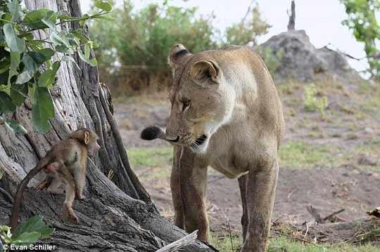 Khỉ mẹ chết, khỉ con quấn quýt sư tử - 4