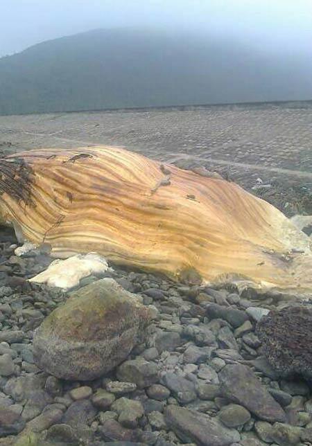 Xác cá voi khổng lồ dạt vào bờ biển Hà Tĩnh - 1
