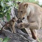 Phi thường - kỳ quặc - Khỉ mẹ chết, khỉ con quấn quýt sư tử
