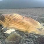 Tin tức trong ngày - Xác cá voi khổng lồ dạt vào bờ biển Hà Tĩnh