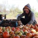 Thị trường - Tiêu dùng - Sau dưa hấu Quảng Ngãi, cà chua Đà Lạt rớt giá, chờ vứt bỏ