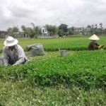 Thị trường - Tiêu dùng - Kiếm hàng trăm triệu nhờ trồng rau má