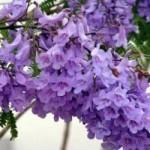 Du lịch - Đà Lạt bâng khuâng mùa phượng tím