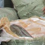 Tin tức trong ngày - Xe tải chở cá trắm cỡ lớn chết thối vào Hà Nội