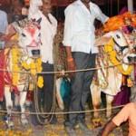 Phi thường - kỳ quặc - Chi hơn 300 triệu đồng tổ chức đám cưới cho bò