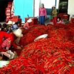 Thị trường - Tiêu dùng - Giá ớt từ 50.000đ/kg giảm xuống còn... 2.500đ