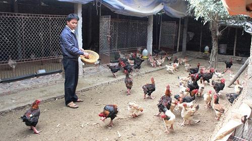 Người đàn ông triệu phú nuôi gà Đông Tảo