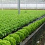 Thị trường - Tiêu dùng - Công chức, kỹ sư cũng bỏ nghề đi trồng rau sạch