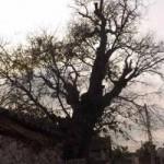 """Tin tức trong ngày - Chiêm ngưỡng cây thị """"cổ đại"""" ở Nghệ An"""
