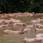 """Tin tức trong ngày - Hà Tĩnh: Xe lật, gần 200 con lợn """"lặn ngụp"""" dưới ao"""