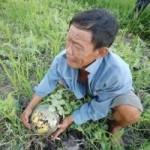 Thị trường - Tiêu dùng - Nông dân miền Tây khóc ròng giữa ruộng dưa hấu thối