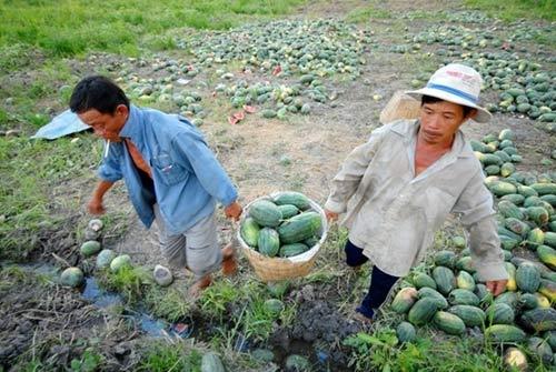 Hàng loạt đặc sản nông nghiệp bị mất giá - 1