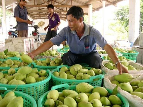 Hàng loạt đặc sản nông nghiệp bị mất giá - 2
