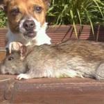 Tin tức trong ngày - Anh: Bắt được chuột to bằng chó nhà