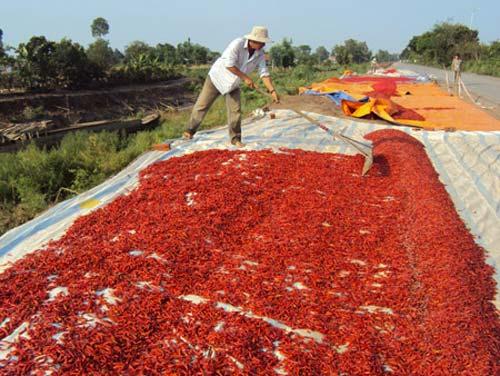 Thương lái Trung Quốc lừa người trồng ớt - 1