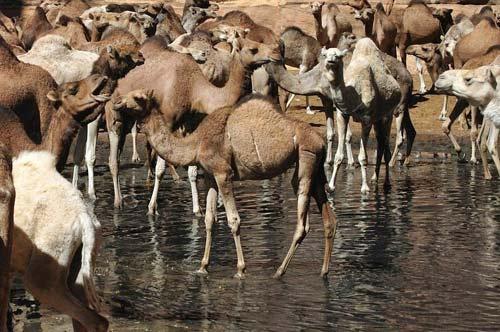 """""""Khách sạn"""" của lạc đà giữa sa mạc Sahara - 8"""