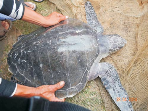 Rùa biển quý hiếm liên tục xuất hiện gần bờ - 1