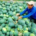 Thị trường - Tiêu dùng - Khi nào nông sản Việt hết cảnh được mùa mất giá?