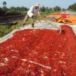 Thị trường - Tiêu dùng - Thương lái Trung Quốc lừa người trồng ớt