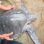 Tin tức trong ngày - Rùa biển quý hiếm liên tục xuất hiện gần bờ