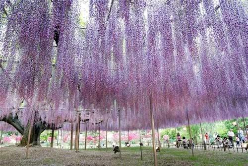 Thiên đường hoa tình ái Nhật Bản - 5