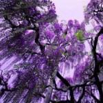 Du lịch - Thiên đường hoa tình ái Nhật Bản