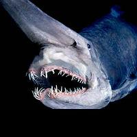 """Khám phá loài """"cá mập yêu tinh"""""""