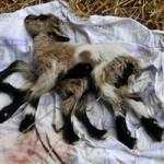 Phi thường - kỳ quặc - Video: Chú dê 8 chân, 2 bộ phận sinh dục