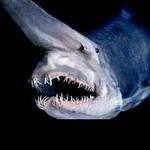 """Phi thường - kỳ quặc - Khám phá loài """"cá mập yêu tinh"""""""
