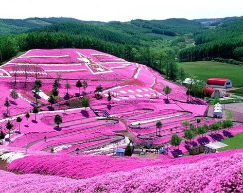 Đắm chìm trong thiên đường hoa Chi Anh ở Nhật Bản - 12