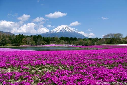 Đắm chìm trong thiên đường hoa Chi Anh ở Nhật Bản - 1