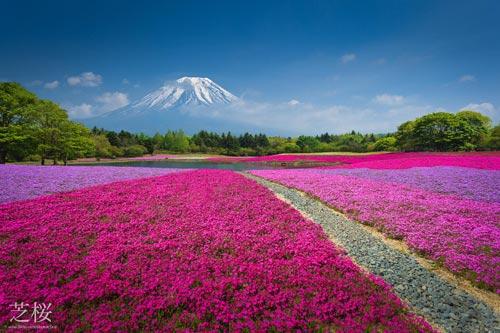 Đắm chìm trong thiên đường hoa Chi Anh ở Nhật Bản - 9