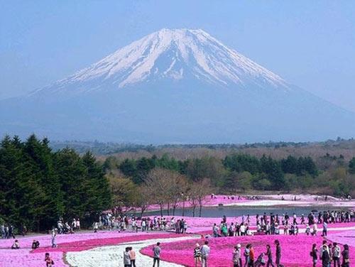 Đắm chìm trong thiên đường hoa Chi Anh ở Nhật Bản - 5