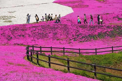 Đắm chìm trong thiên đường hoa Chi Anh ở Nhật Bản - 13