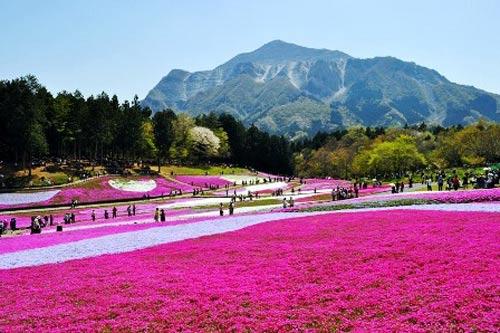 Đắm chìm trong thiên đường hoa Chi Anh ở Nhật Bản - 4