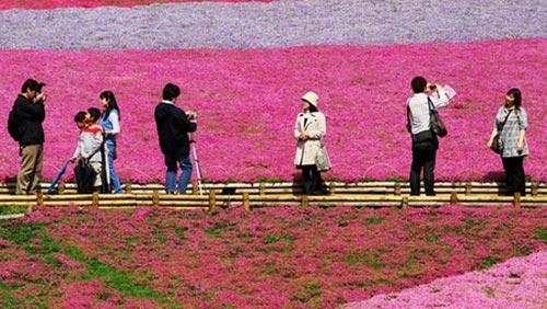 Đắm chìm trong thiên đường hoa Chi Anh ở Nhật Bản - 6